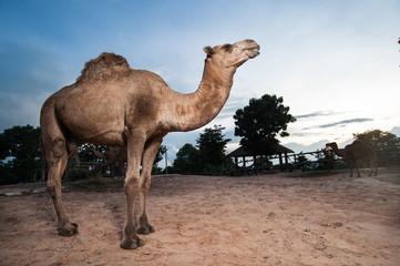 dromedary camel in the zoo