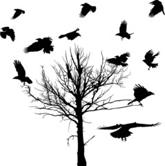 black dry large tree and crows silhouettes isolated on white