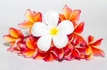 Frangipani Flower or Plumeria Isolated on White Background
