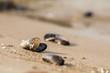 Muscheln am Strand auf Darss - 76465986
