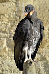 Juvenile King vulture
