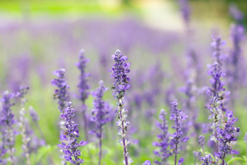 violet lavender flowers