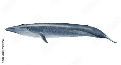 Leinwandbild Motiv Blue whale