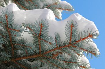 Weißtannenzweige im Winter