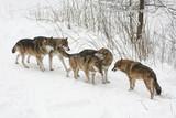 Wolfsrudel Begegnung