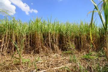 Africa, a field of sugar cane in Mauritius