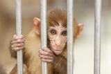 Monkey from Abkhazia