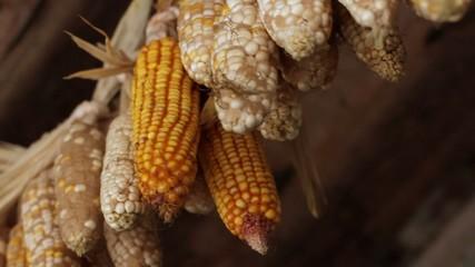 rural corn