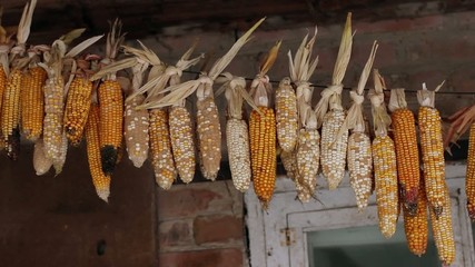 dried corn is hanged under the roof of house