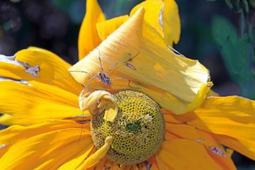 Spider in the heart of a yellow flower
