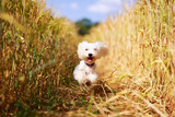 White Maltese dog - 76479181