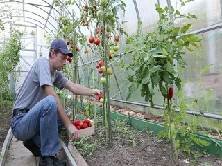 Worker processing the tomatoes bushes in the greenhouse