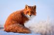 red fox - 76479767