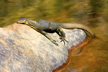 Guana at Jim Jim Falls, Kakadu National Park Australia