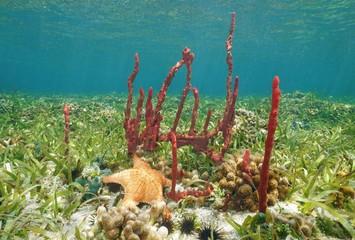 Erect rope sponge and Cushion starfish underwater