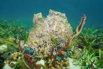 Giant barrel sponge Xestospongia muta underwater