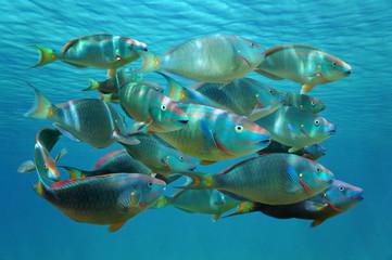 Shoal of tropical fish Stoplight parrotfish