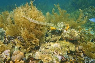 Trumpetfish Aulostomus maculatus underwater