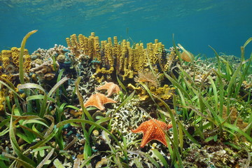 Underwater in a Caribbean coral reef with starfish