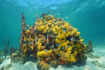 Underwater life with colored sea sponge on coral