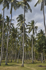 Indonesia, Lombok: coconut palm