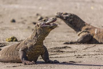 Komodo Drangons