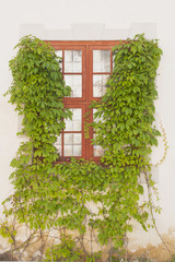 window framed by green creeper