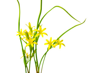 Yellow Star of Bethlehem, Gagea lutea the first wild spring flow