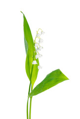 beautiful lily of the valley flower is isolated on white backgro
