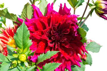 beautiful blooming petals dahlia macro of raindrops, closeup, is