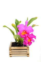 violet  cattleya orchid