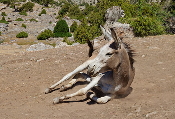 Donkey lying in the dust under the archa