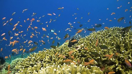 Colorful coral reef with anthias and lionfish