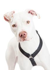 Closeup Of A Dogo Argentino Dog