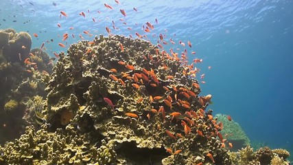 Coral reef with Anthias, Surgeonfish, Grouper and Bannerfish
