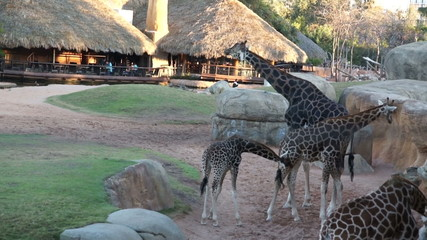 adult giraffes and cubs walking in the natural
