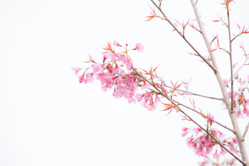 Beautiful pink cherry blossom (Sakura) flower at full bloom.