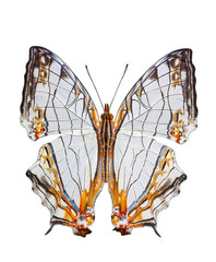 Isolated Common Map Butterfly