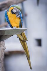 Perroquet ara jaune et bleu