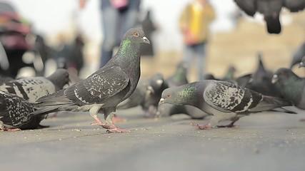 pigeons I