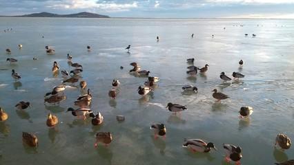 Many mallard on the ice