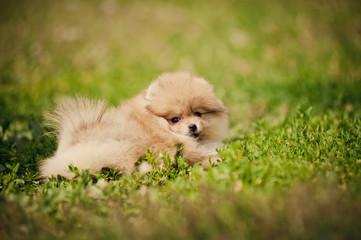 Small Pomeranian puppy lying