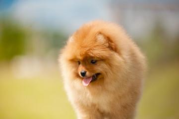 Small Pomeranian Spitz puppy portrait