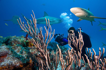 Caribbean reef sharks and underwater photographer