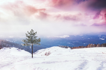 One pine tree on the snow-covered mountain at sunset