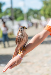 Child with kestrel perched in the arm