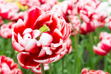 One bicolor red white tulip in front of many
