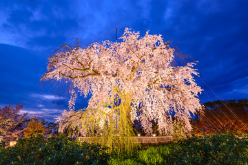 Weeping Cherry Blossom Tree in Maruyama Park, Kyoto, japan