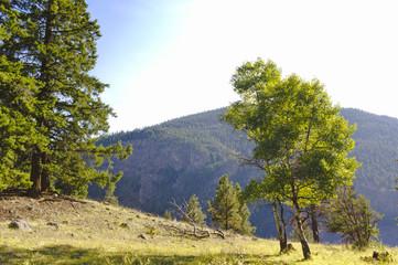 Sunlit mountain trees