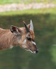 Young male of marshbuck - Tragelaphus spekii